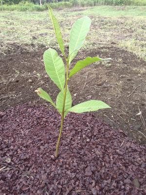 Bosque - Maranon (cashew)